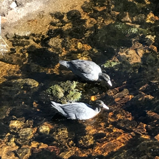 Blue ducks