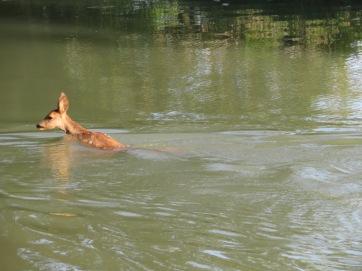 deer in canal