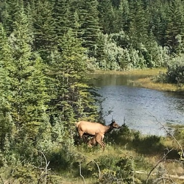 Elk Canmore