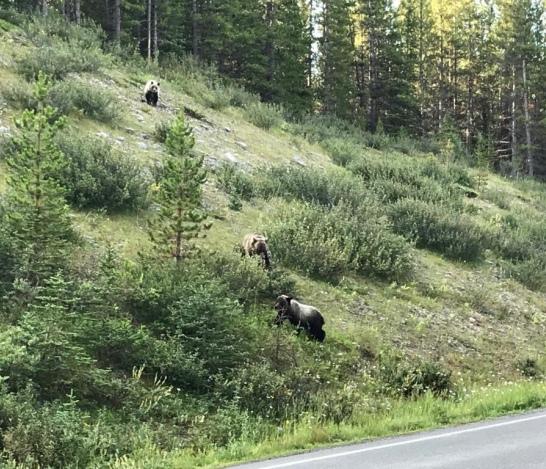 young bears Kananaskis (2)