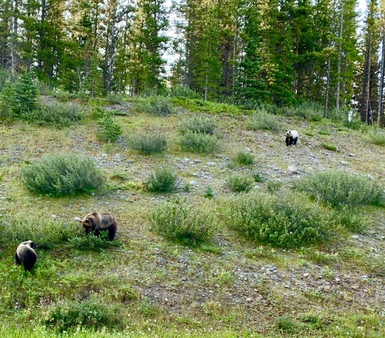young Bears Kananaskis