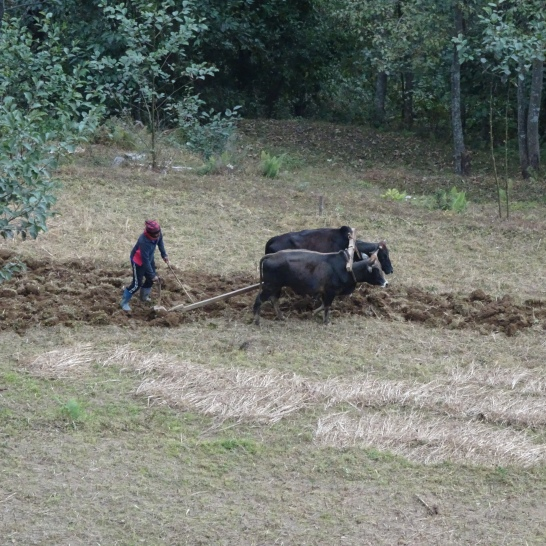 ploughing with 2 waterbuffaloes